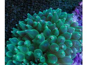 entacmaea green mini violet tips2