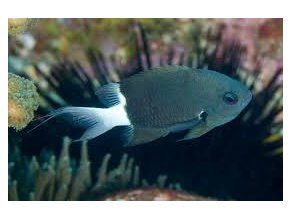 chromis margaritifer