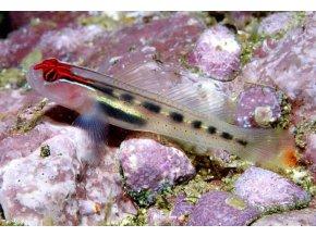 elacatinus puncticulatus II