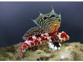 Synchiropus stellatus