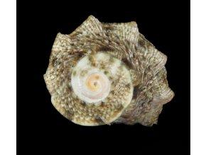 Lunella coronata I