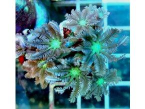 Clavularia viridis GREEN FIJI
