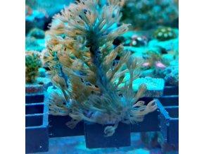 Plexaurella dichotoma