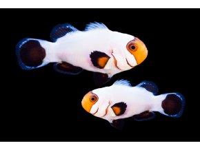 amphiprion ocellaris wyoming white