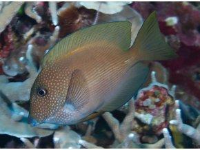Ctenochaetus striatus1