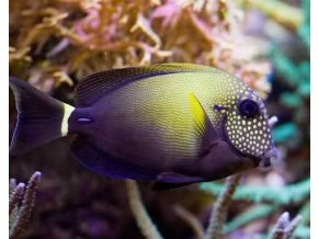 Acanthurus maculiceps6