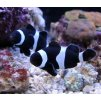 amphiprion ocellaris black4
