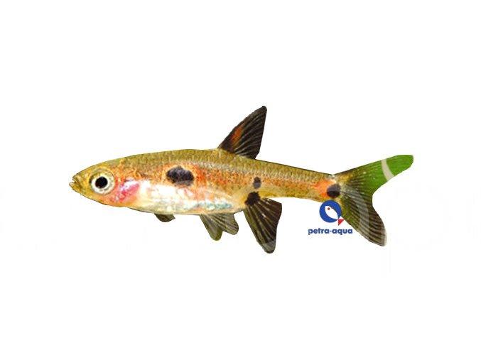 Razbora malá - Boraras maculatus