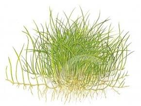 Eleocharis acicularis 'Mini'