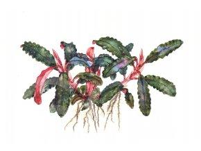 Bucephalandra 'Kedagang' 1.2.Grow