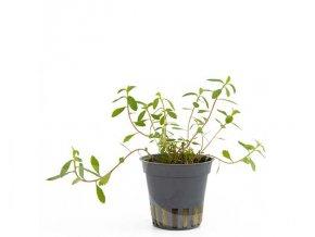 LE087 Proserpinaca palustris cuba