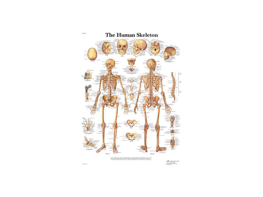 Výuková anatomie - kostra