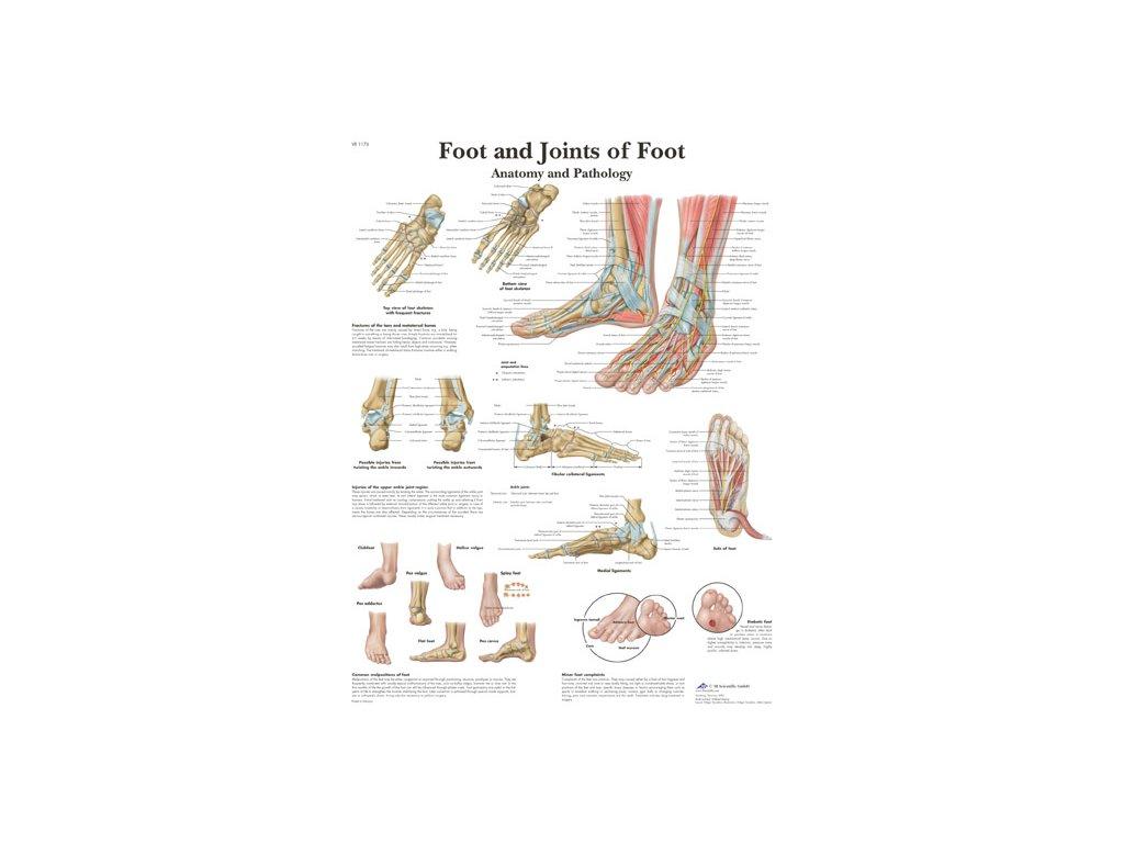 Výuková anatomie - kotník