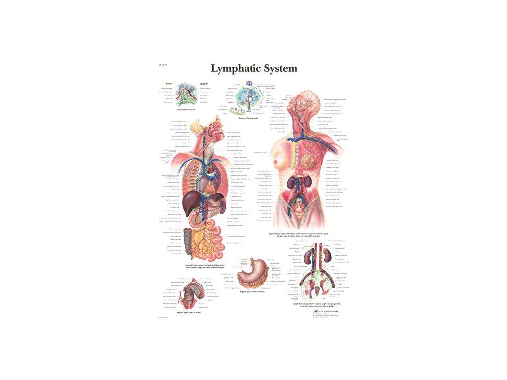 Výuková anatomie - lymfatický systém