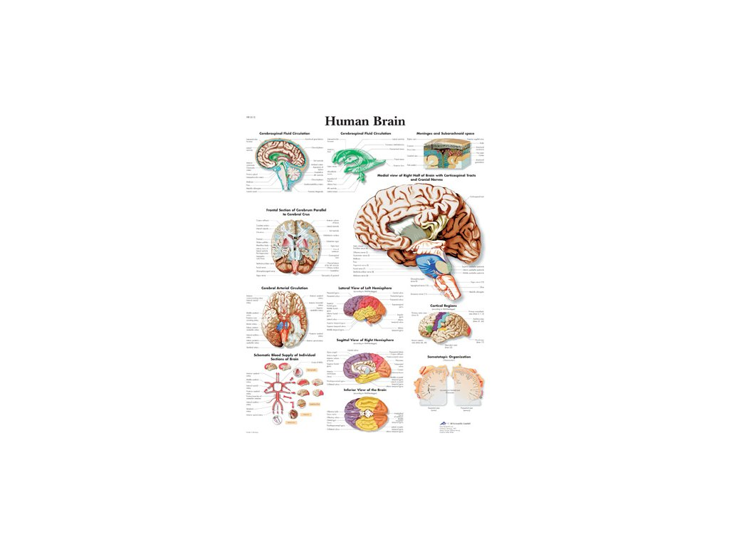 Výuková anatomie - mozek