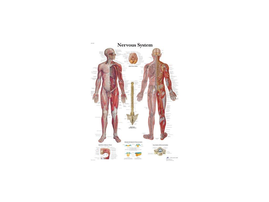 Výuková anatomie - nervový systém A