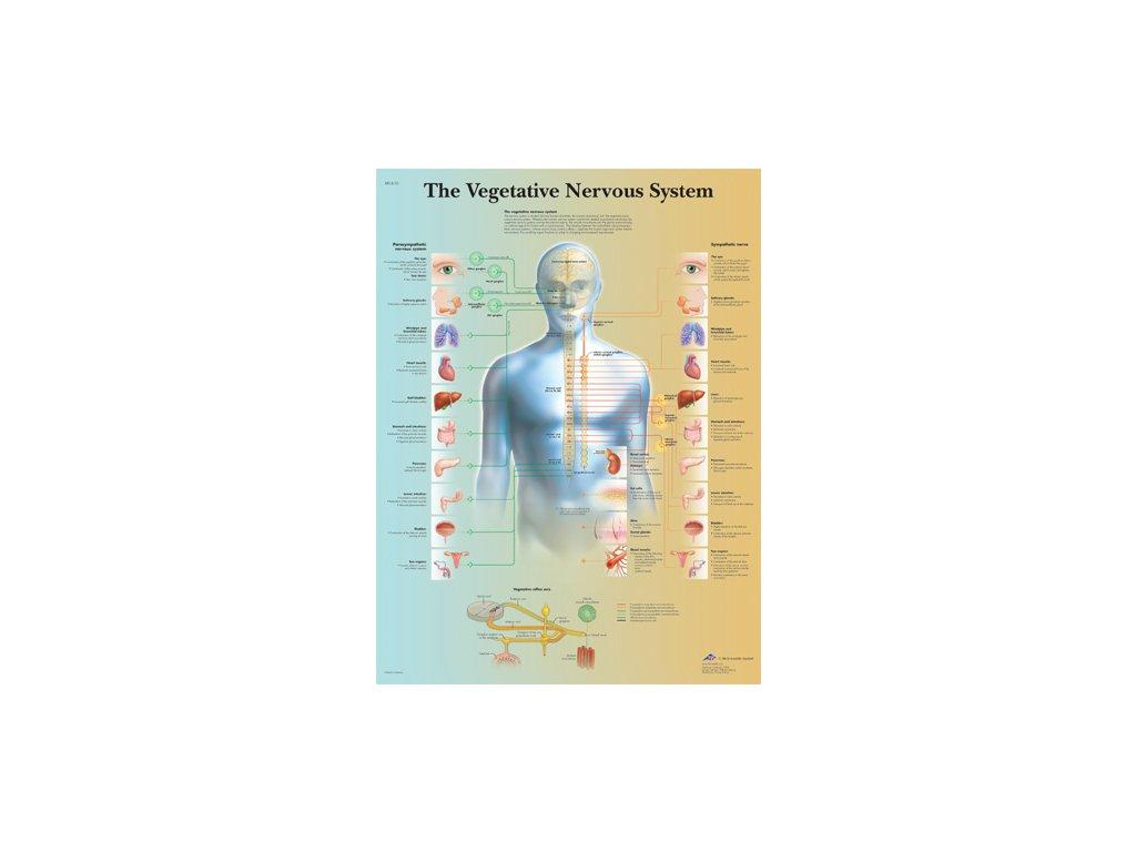 Výuková anatomie - nervový systém B