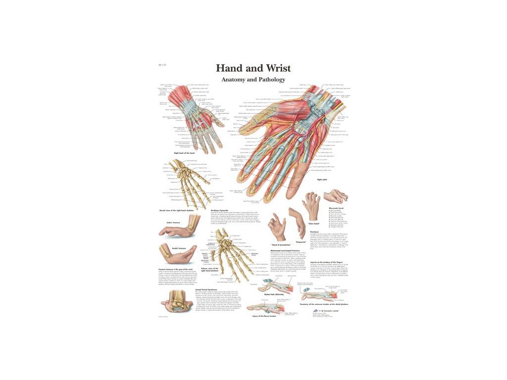 Výuková anatomie - ruka