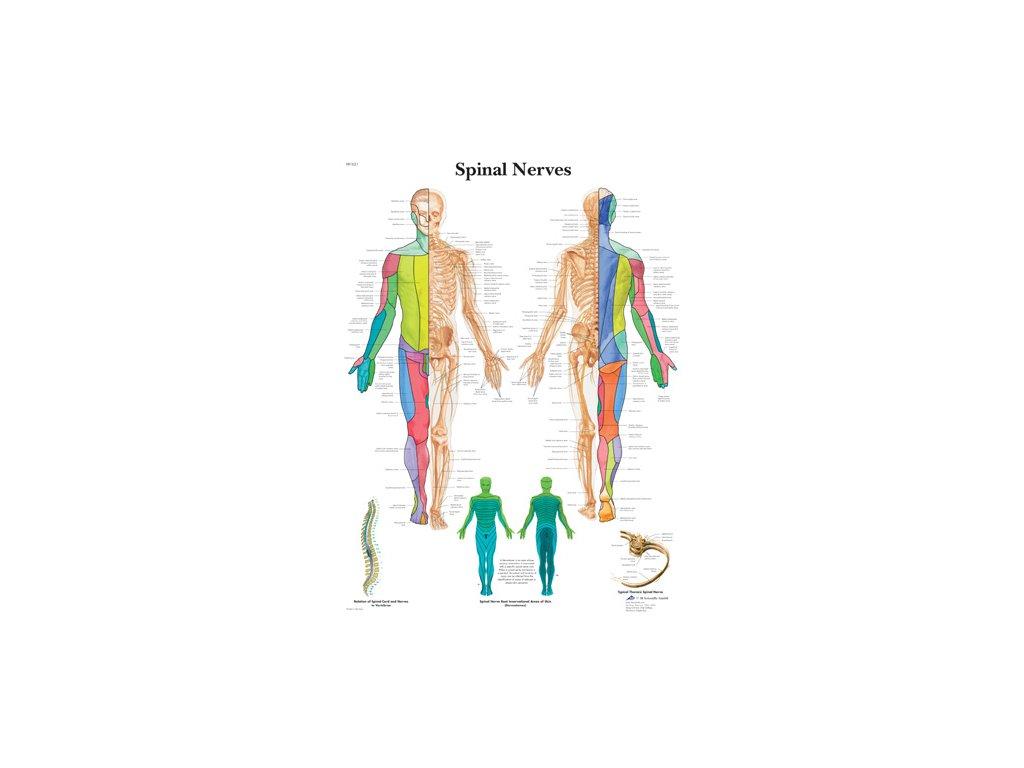 Výuková anatomie - spinální nervy