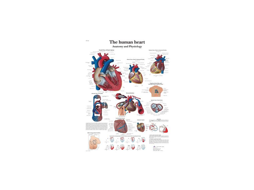 Výuková anatomie - srdce