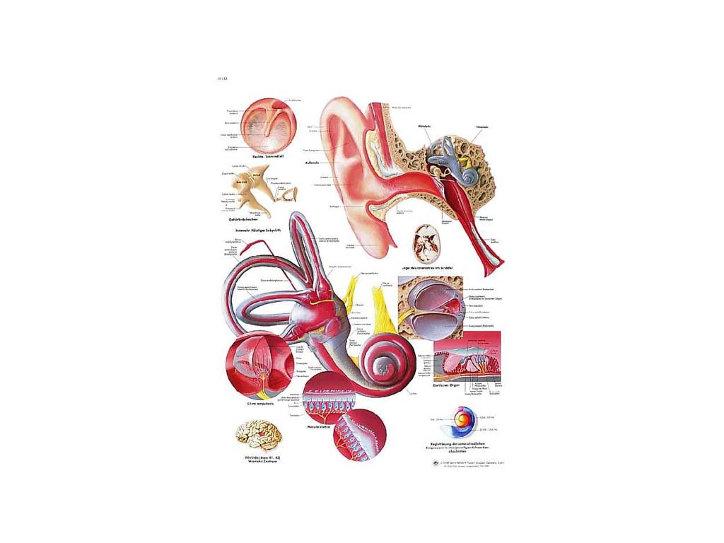 Výuková anatomie - ucho