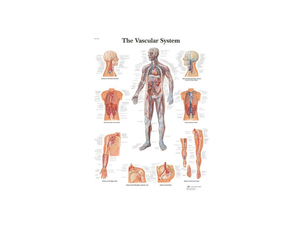 Výuková anatomie - vasculární systém