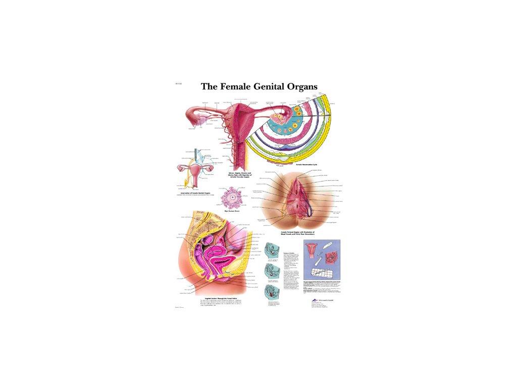 Výuková anatomie - ženské orgány