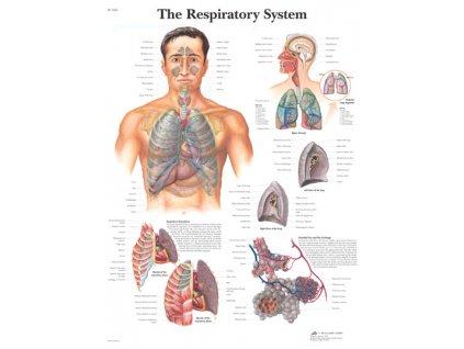 Výuková anatomie - dýchací systém