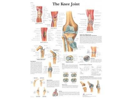 Výuková anatomie - koleno