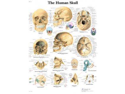 Výuková anatomie - lebka
