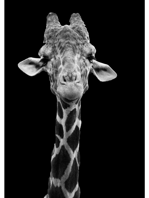 cernobily africky plakat giraffe 01