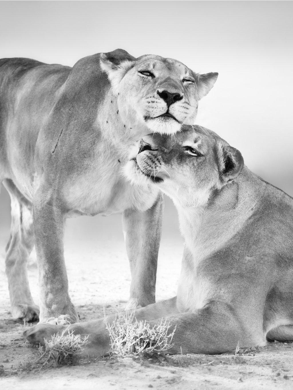 cernobily africky plakat lionees 01