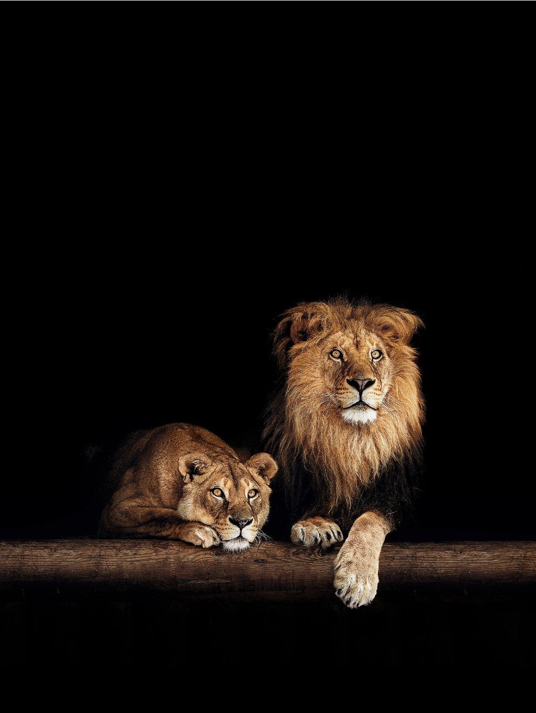 barevny africky plakat lion family 01