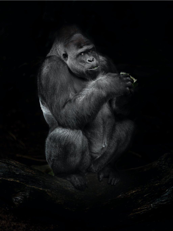 cernobily africky plakat gorilla 01