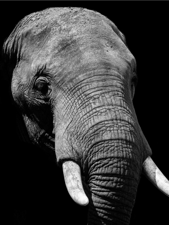 cernobily africky plakat elephant 01