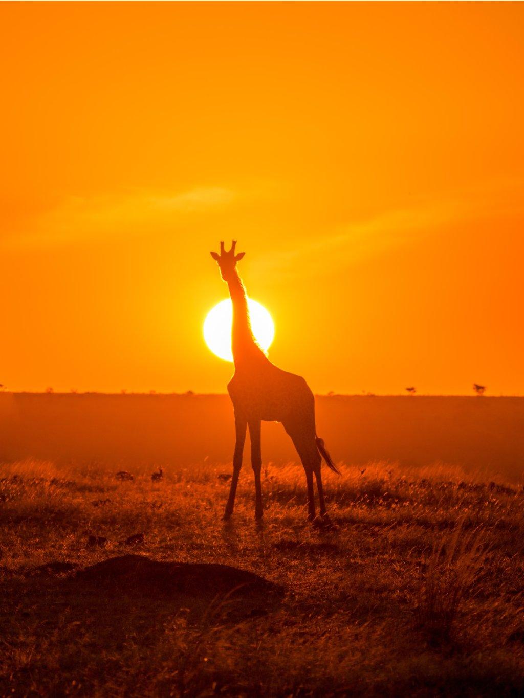 barevny africky plakat giraffe 01