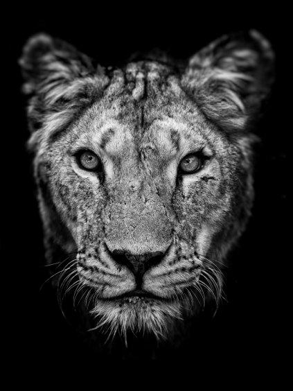 cernobily africky plakat queen lion 01
