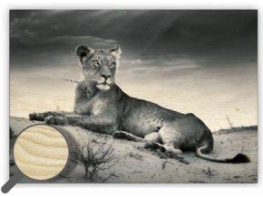 Moderní dřevěný obraz na stěnu Lioness s motivem zvířata - lev, černobílý obraz