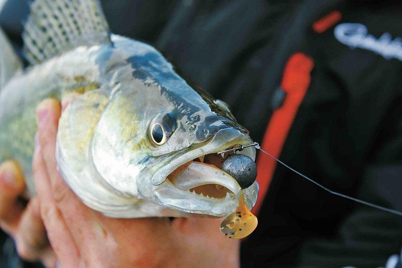 Candát chycený na gumovou rybičku