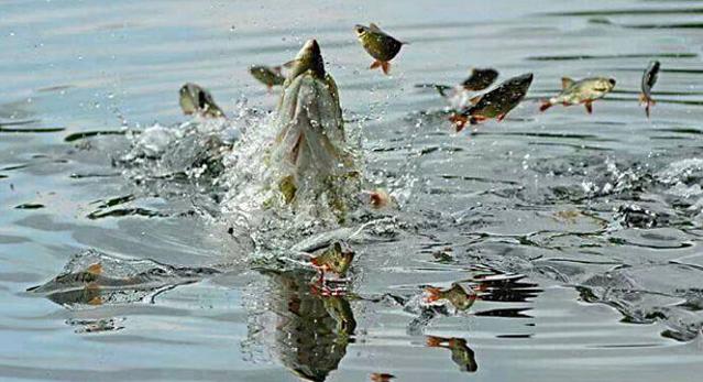 Štika lovící rybičky