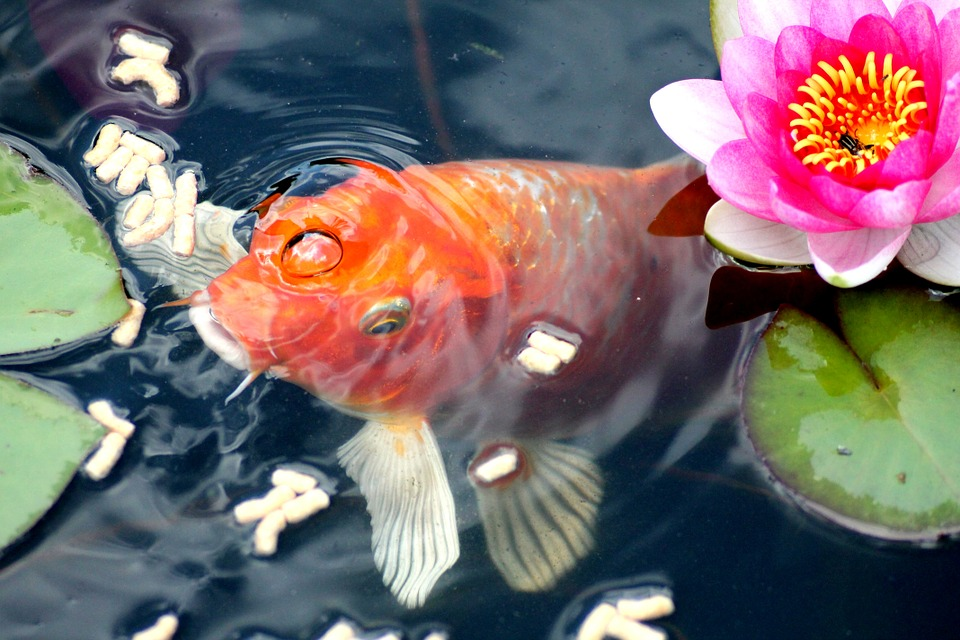 goldfish-414202_960_720