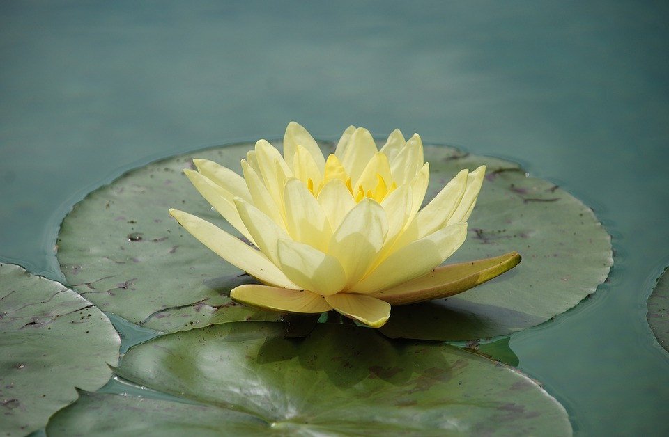 water-lily-1529494_960_720