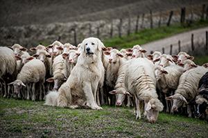 BARF.cz - jehněčí maso ve výživě psů
