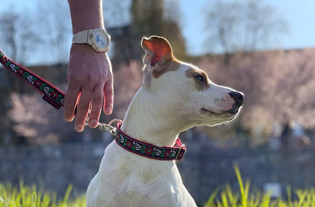 Jak změřit psa a vybrat obojek?