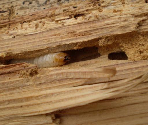Larvy dřevokazného hmyzu 2
