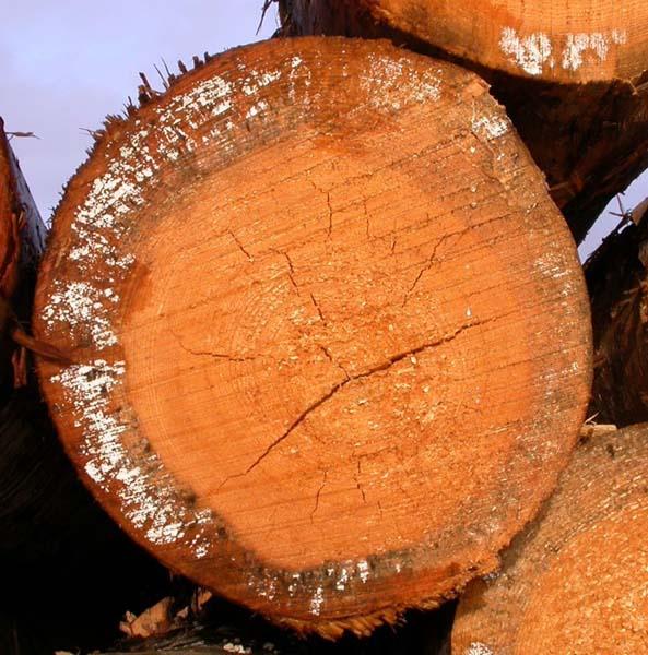 Plíseň na neopracovaném dřevě