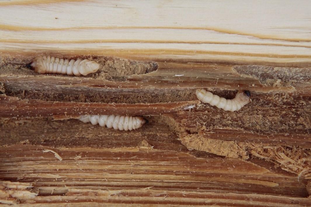 larva tesarika krovoveho