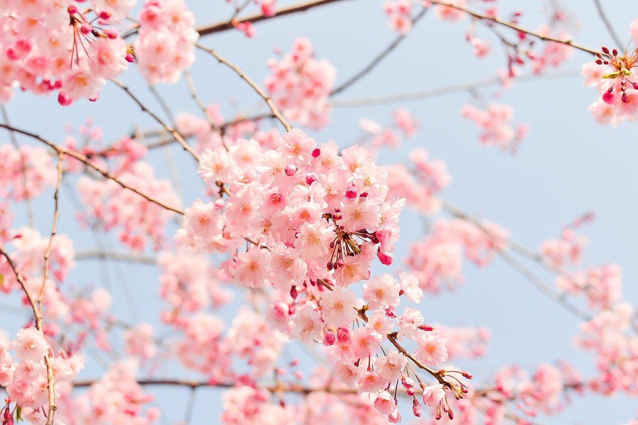 cherry-blossom-tree-1225186_1280