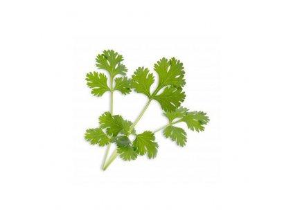 Lingot s BIO semeny koriandru pro chytré květináče Véritable
