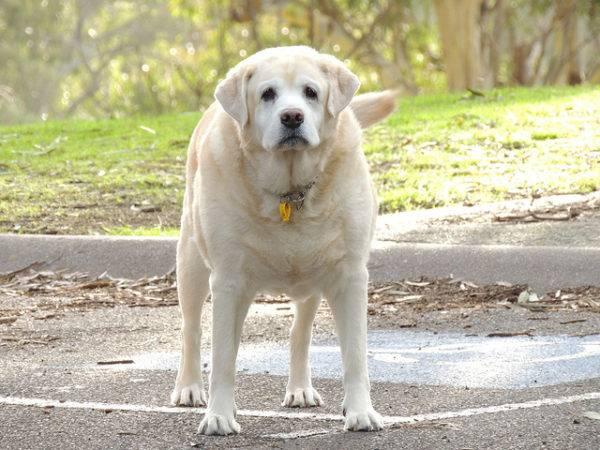 Obezita u psů - příčiny, důsledky a tipy